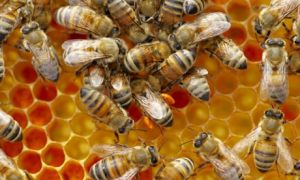 Honeybees-swarm-on-a-comb-005