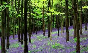 Bluebells on Wenlock Edge, Shropshire