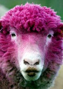 A sheep with dyed pink wool