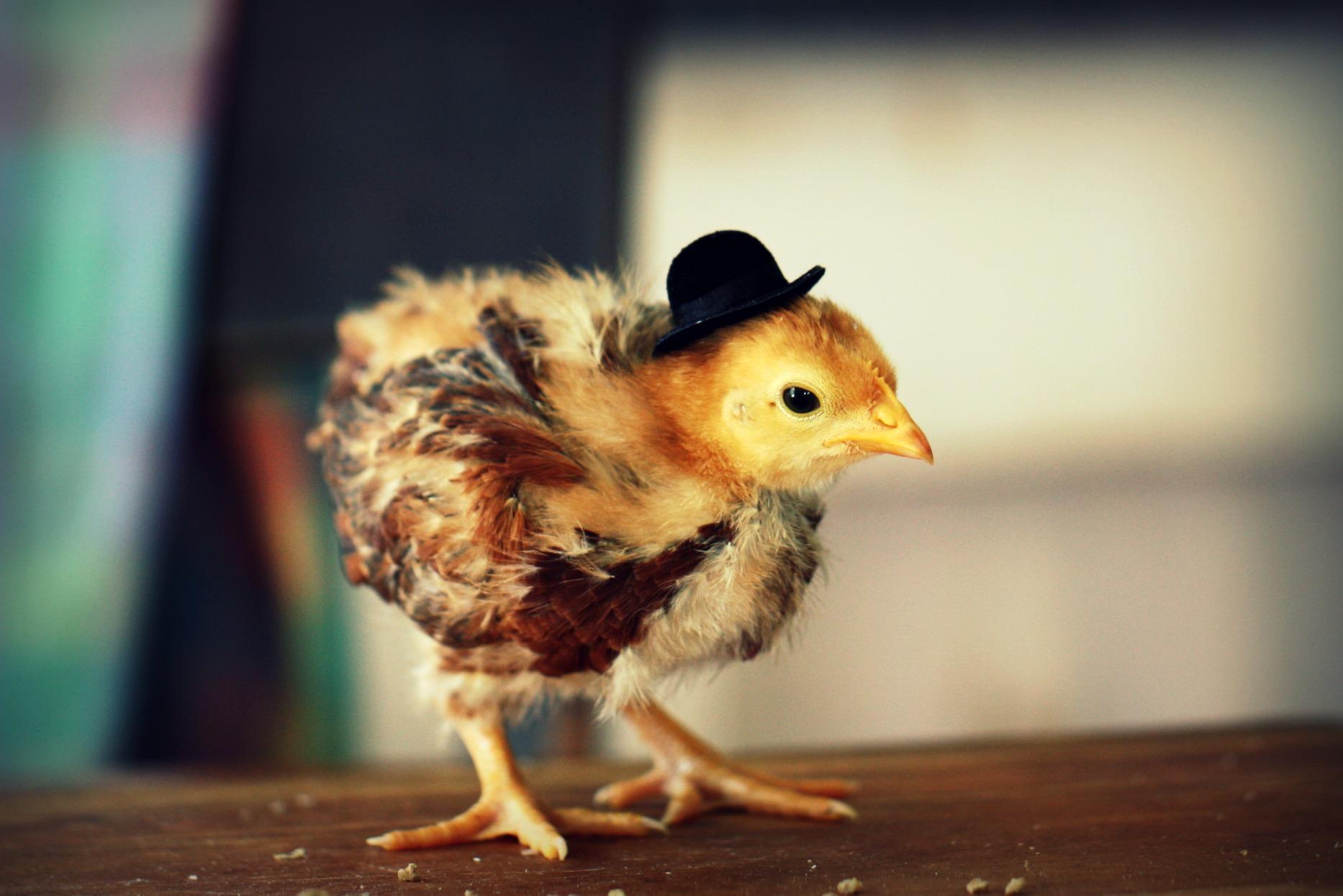 Прикольные картинки цыплят, милый картинки