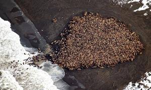 1500 walrus are gather on the northwest coast of Alaska.
